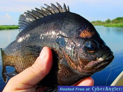 Fast fly fishing action for Shell cracker fish