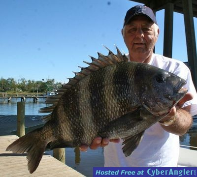 Biloxi mississippi bay fishing big sheepshead cometh for Saltwater drum fish