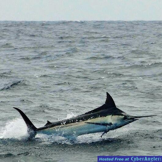 Black Marlin in Salinas