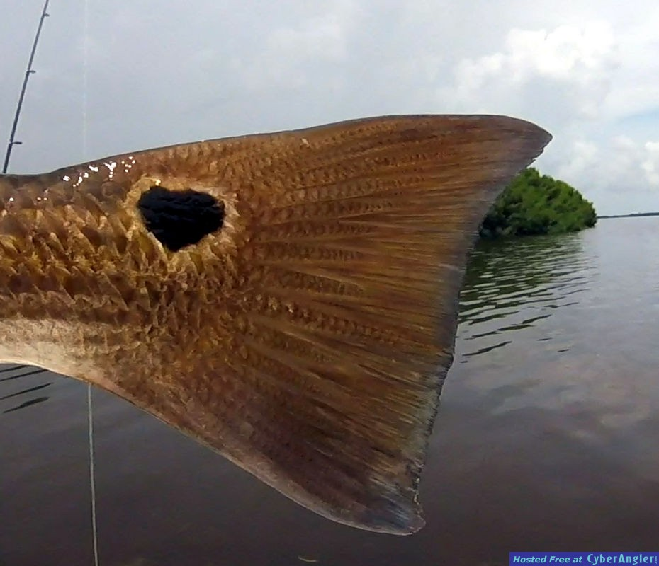Heart Tail Redfish