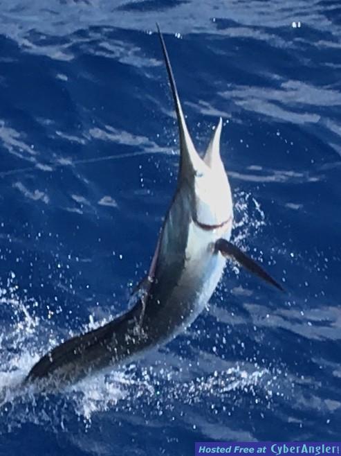 Sailfish Closeup