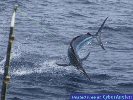 Black Marlin in Fiji