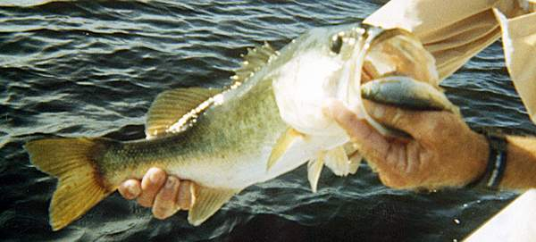 live bait bass fishing - use live shinners and shad for catching, Fishing Bait