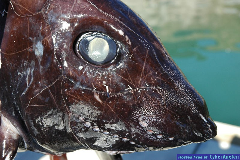 Rat Fish