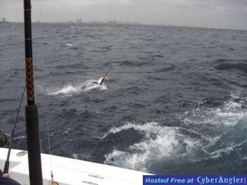 Nice Sailfish just hooked up