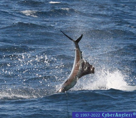 IMG_3298_inverted_sailfish