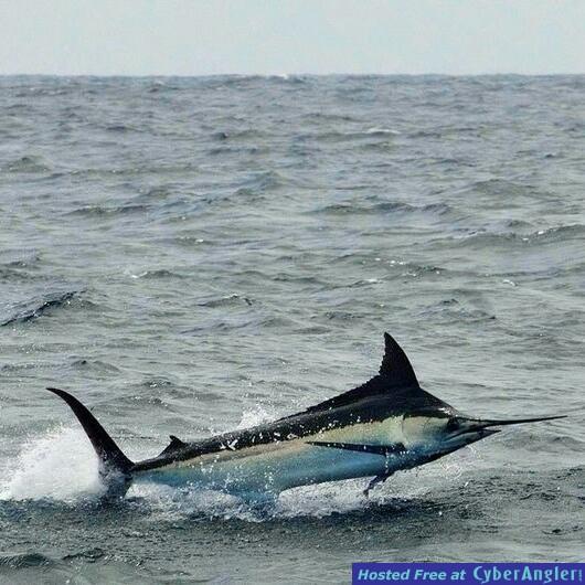 Black Marlin in Salinas